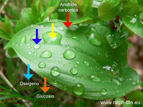 fotosintesi_clorofilliana.jpg