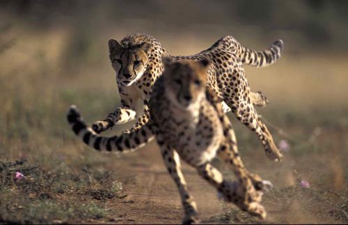 leopardo_500px.jpg